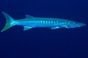 cozumel mexico barracuda