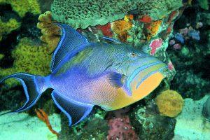 cozumel triggerfish