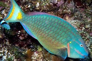 parrotfish cozumel mexico